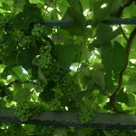 druiven bij Maria in Vassilikos