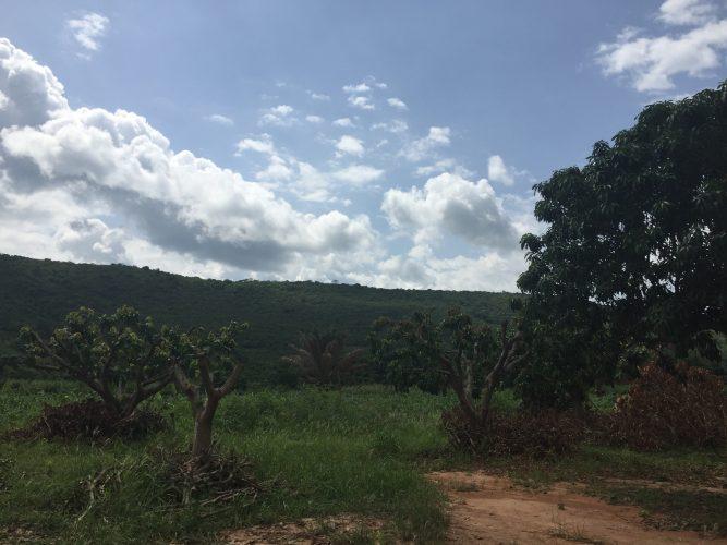 mango plantage Ghana