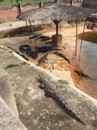 krokodillen Ghana Albert Heijn FOundation