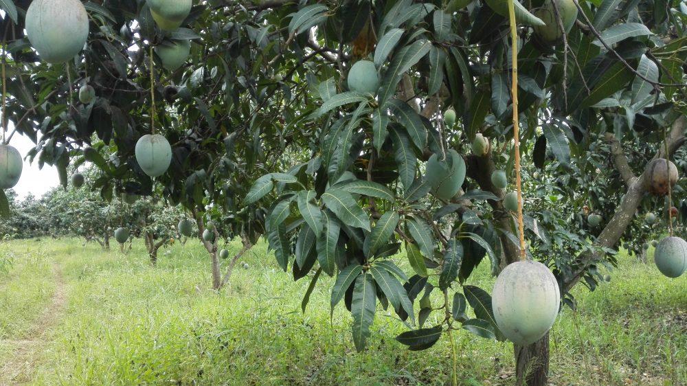 mangobomen Ghana AH Appie Albert Heijn