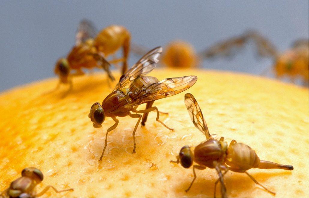 fruit-flies fruitvliegjes